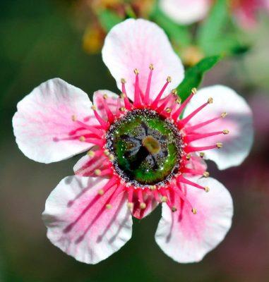 manuka bloem